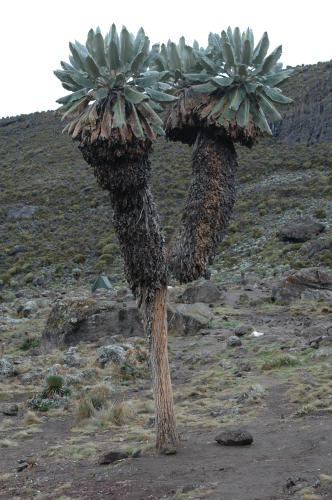 merkwürdiges Palmengewächs am Barranco Camp
